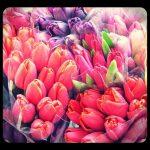tulips_valentine-flowers